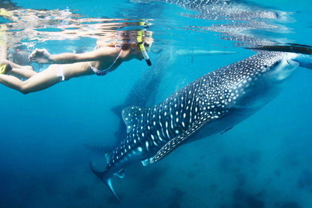 オスロブ ジンベエザメと泳ぐ